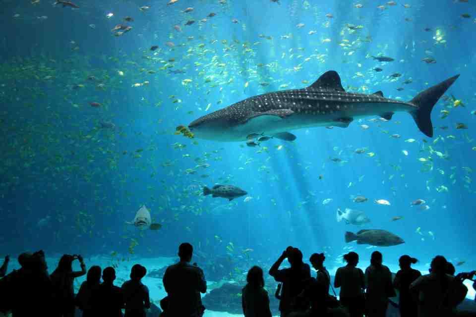 Whale Shark at the Kuroshio Sea Exhibit