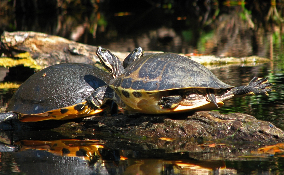 River Turtles