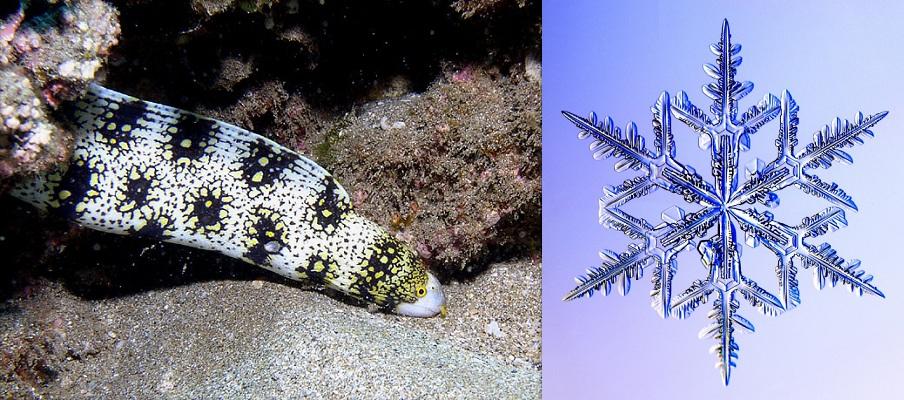 Snowflake Eel and Snowflake