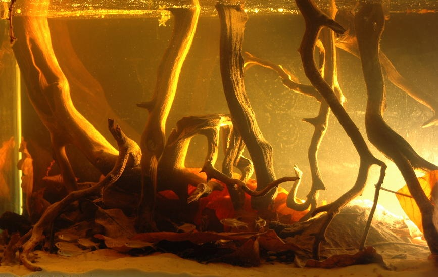 Autumn Shades of a Blackwater Aquarium