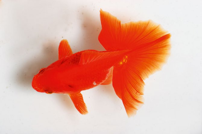 Goldfish with Slight Red Ting