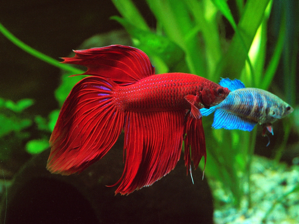 Red Beta Fish for Red Aquascapes