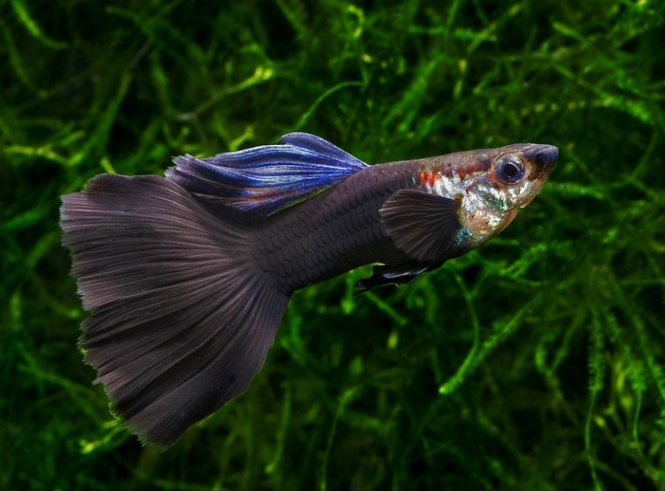 Black Guppy