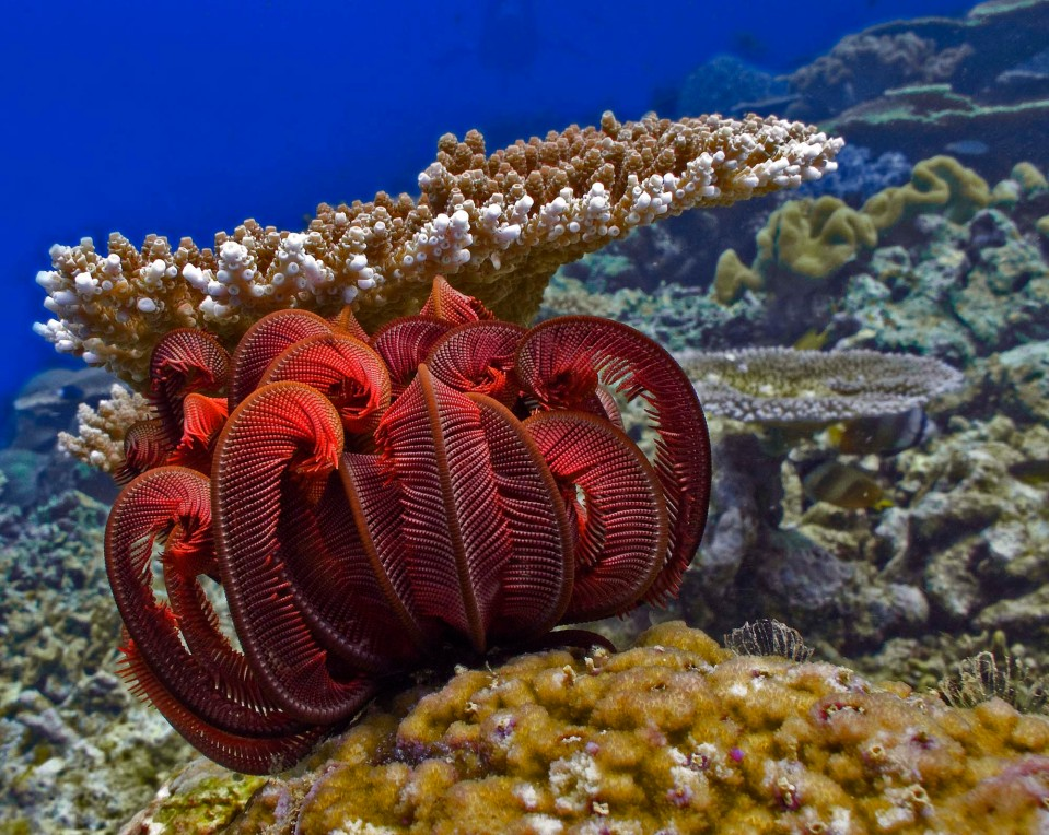 Feather Star Coral