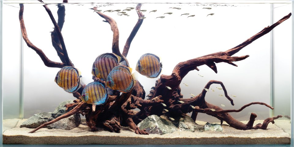 Discus Fish Custom Freshwater Aquarium