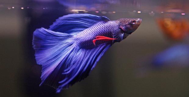Purple Betta Fish