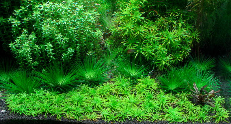 Aquarium Carpet Plants Vidalondon
