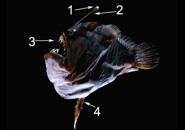 Angler Fish with Male Parasite