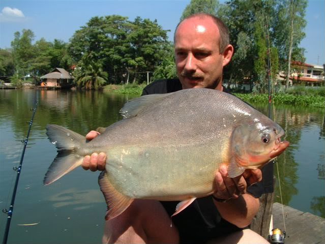 Red Bellied Pacu