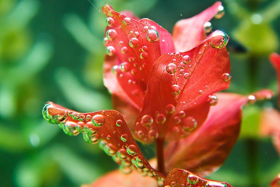 Rotala Macandra Freshwater Plant