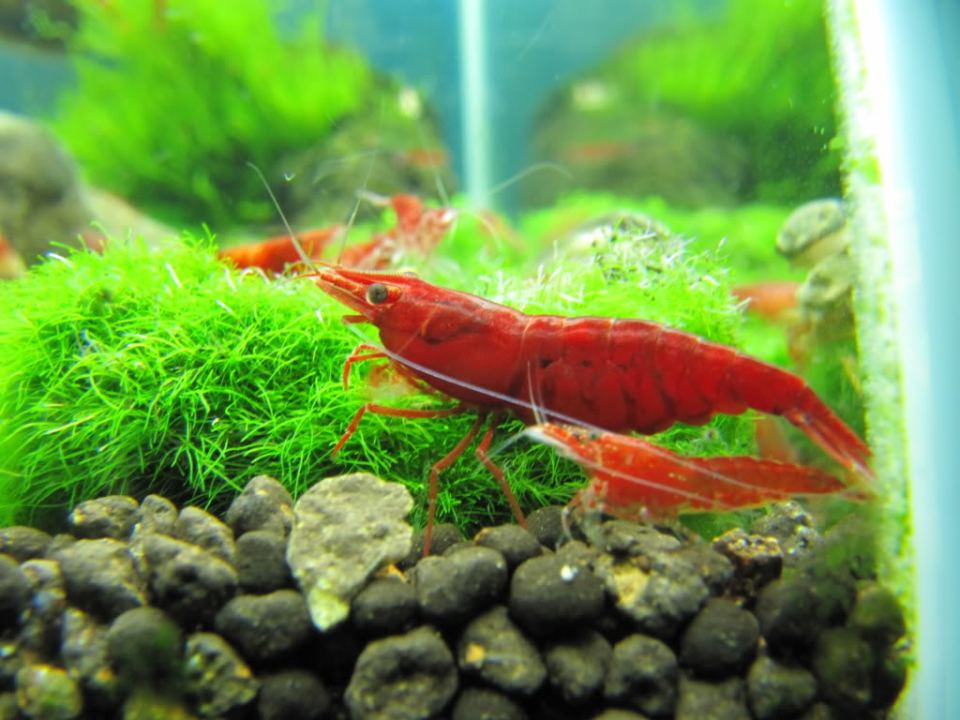 Painted Fire Red Shrimp