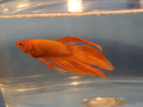 Orange Beta Fish