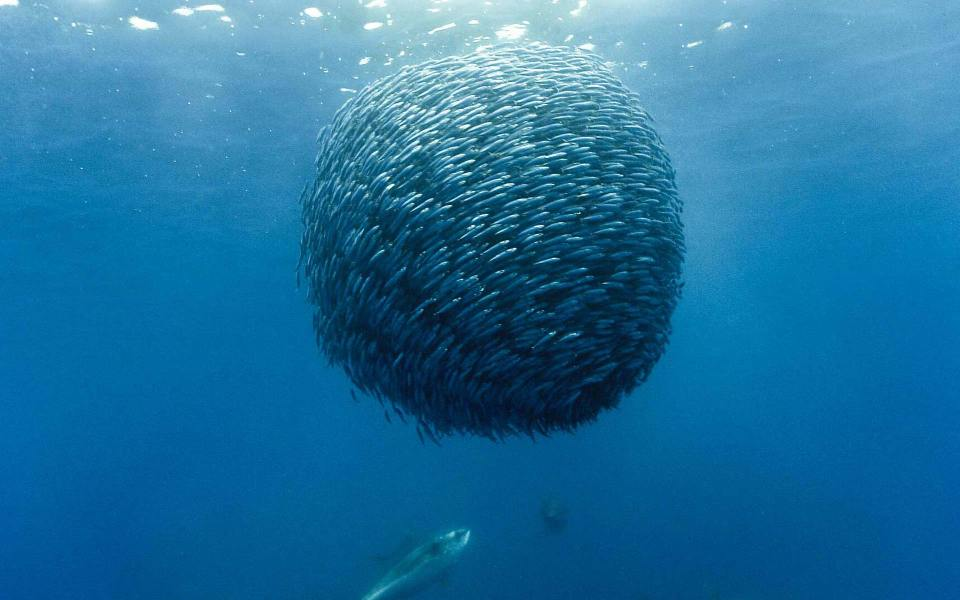 Schooling Fish in a Sphere