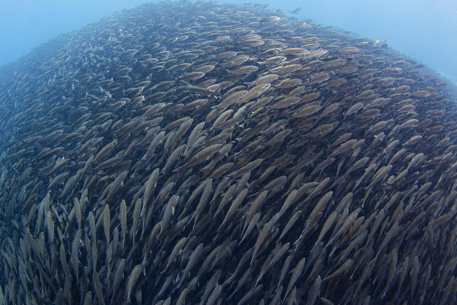 Schooling Fish in the Galapagos