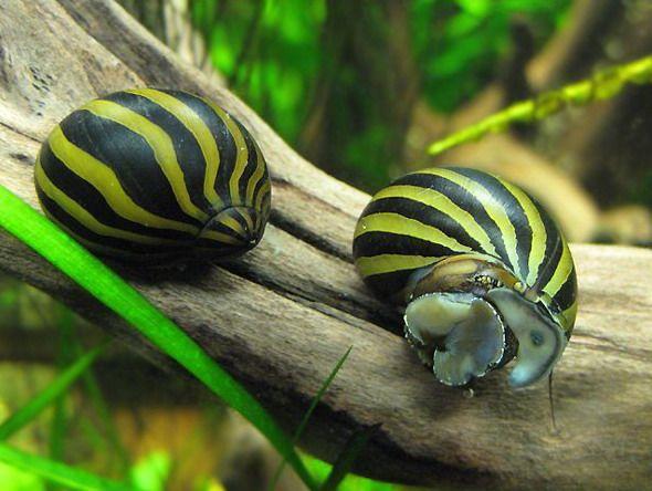 Neritina Zebra Snails