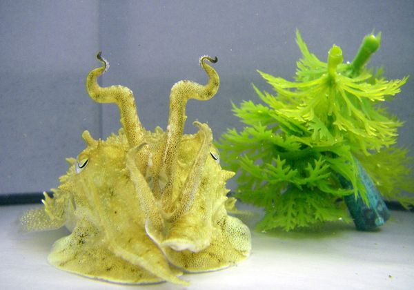 Cuttlefish Mimicking Artificial Plant