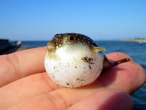 Young Pufferfish